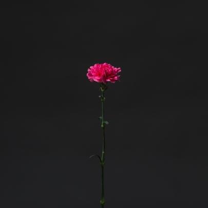 Гвоздика Малиновая фото
