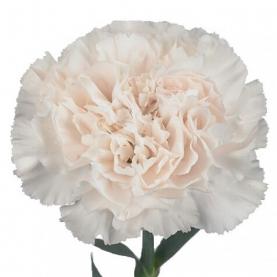 Гвоздика Бледно-Розовая фото