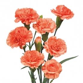 Гвоздика Оранжевая Кустовая поштучно фото