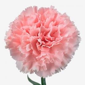 Гвоздика розовая фото