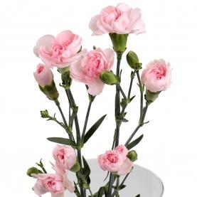 Гвоздика Розовая Кустовая фото