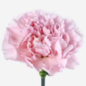 Гвоздика Светло-Розовая фото