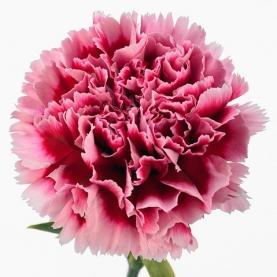 Гвоздика Малиново-Розовая фото