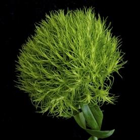 Гвоздика Green Trick фото