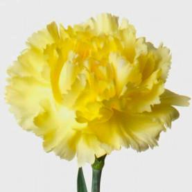 Гвоздика Желтая фото