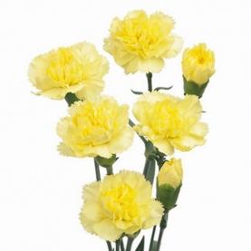 Гвоздика Желтая Кустовая фото