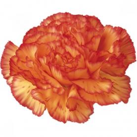 Гвоздика Желто-Оранжевая фото
