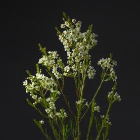 Хамелациум Белый фото