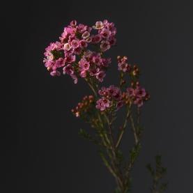Хамелациум розовый фото