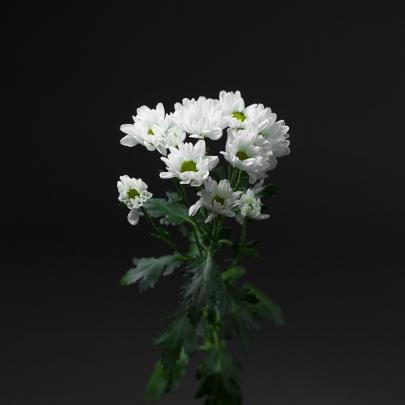 Хризантема Белая Кустовая Ромашка фото