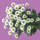 Хризантема Сантини 50см