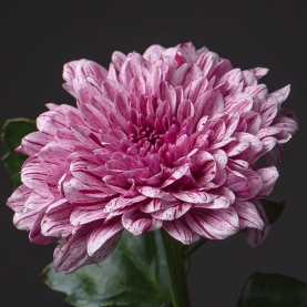 Хризантема Бело-Розовая фото