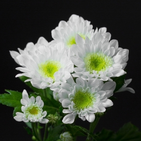 Хризантема Бело-Зеленая Кустовая фото