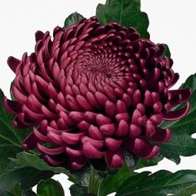 Хризантема Бигуди Фиолетовая фото
