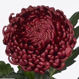 Хризантема Бигуди Бордовая фото