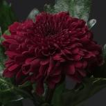 Хризантема (Andrea)