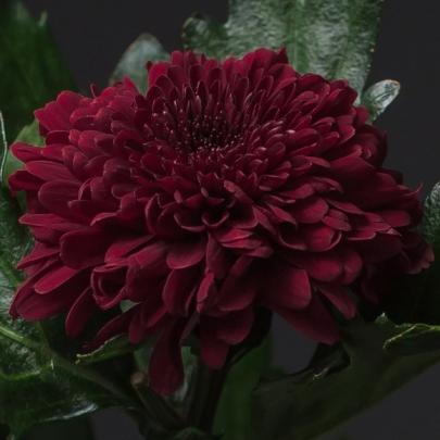 Хризантема Бордовая фото