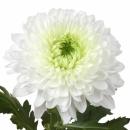 Хризантема (Deltona)