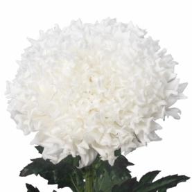Хризантема Einstein фото