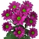 Хризантема Фиолетовая