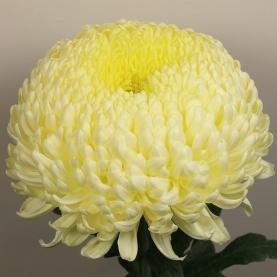 Хризантема Бигуди Кремовая фото