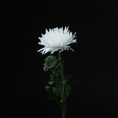 Хризантема игольчатая белая поштучно фото
