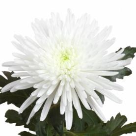 Хризантема Игольчатая Белая фото