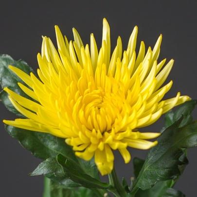 Хризантема игольчатая желтая поштучно фото