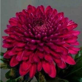 Хризантема Красная фото