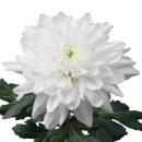 Хризантема (Jeti)