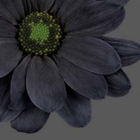 Хризантема Кустовая Ромашка Черная фото