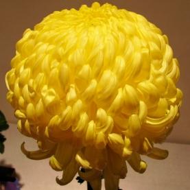 Хризантема Бигуди Желтая фото