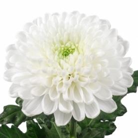 Хризантема Белая фото