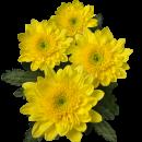 Хризантема Кустовая (Amaris)