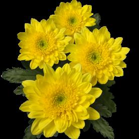 Хризантема Кустовая Amaris