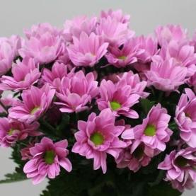 Хризантема кустовая Bacardi Pearl фото