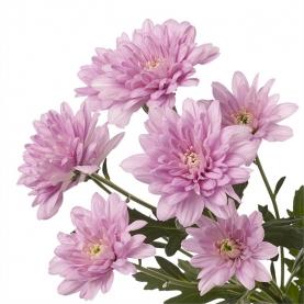 Хризантема Кустовая Baltica Pink фото