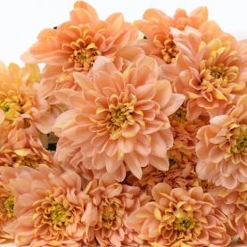 Хризантема Кустовая Коралловая фото