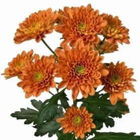 Хризантема Кустовая Оранжевая фото