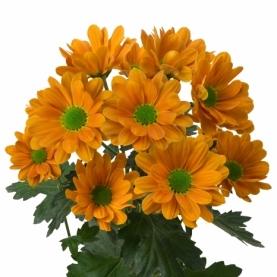 Хризантема Кустовая Cato Orange фото