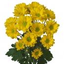 Хризантема Кустовая (Baltica Yellow)