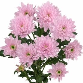 Хризантема Кустовая Euro Pink фото