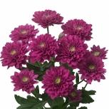 Хризантема Фиолетовая Пушистая