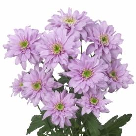 Хризантема Кустовая Сиреневая фото