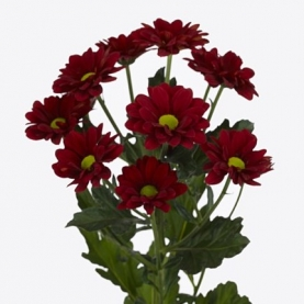 Хризантема Кустовая Ромашка Бордовая фото