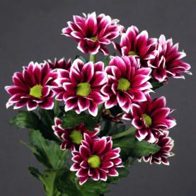 Хризантема Кустовая Haydar фото