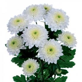 Хризантема Кустовая Ibis фото