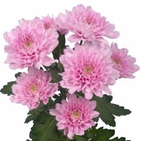Хризантема Кустовая Розовая фото