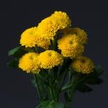 Хризантема (Limoncello)