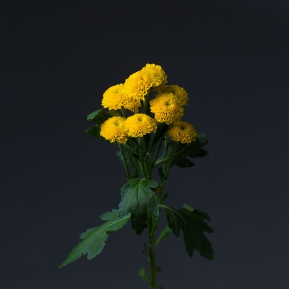 Хризантема кустовая желтая поштучно фото